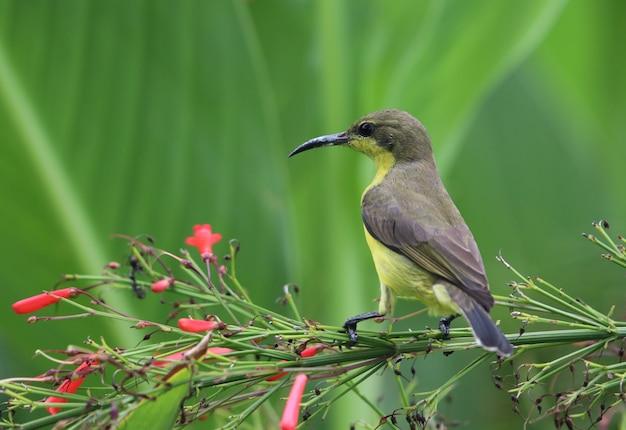 Parte de trás do pássaro sunbird na natureza