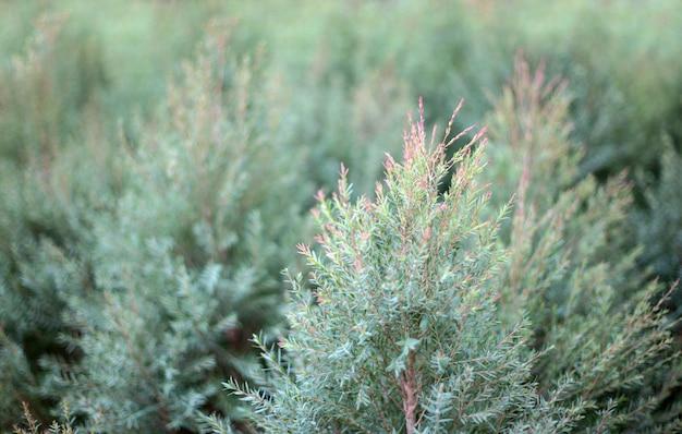 Parte superior do pinheiro recém-nascido dos christmass para o jardim da decoração.