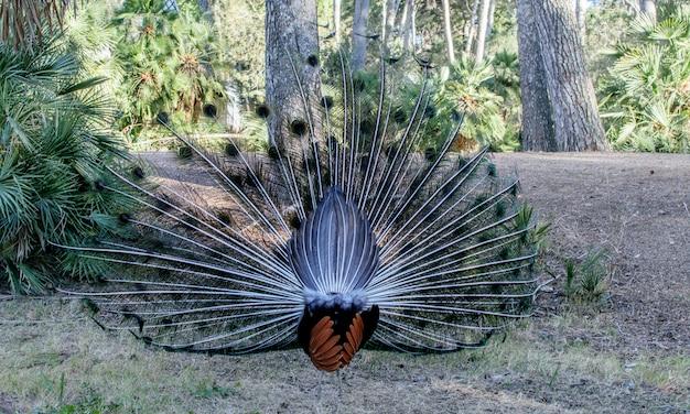 Parte traseira do pavão, cauda colorida no parque natural.