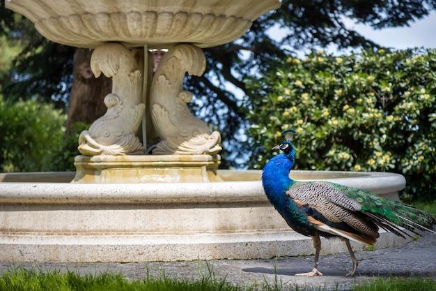 Partenit crimea peacock caminhando no paradise park