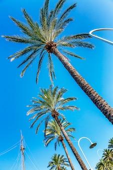 Partes superiores das palmeiras contra o céu azul. vista de baixo, plano de close-up. vertical.