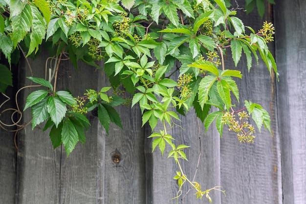 Parthenocissus quinquefolia e partenocissus cinco folhas anexadas uvas - videira lenhosa de uvas do gênero maiden penduradas na parede de madeira, estilo rústico.