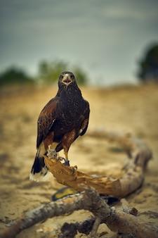 Passando a tarde com a águia de um amigo