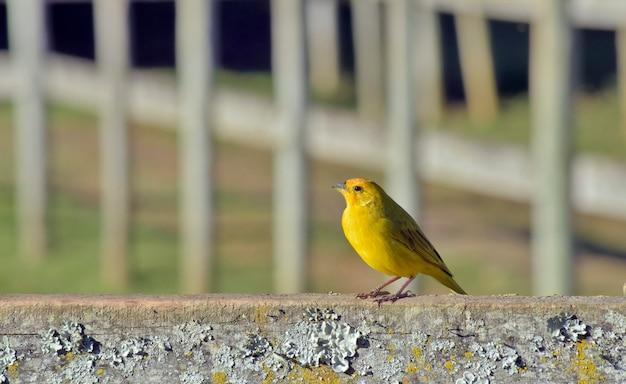 Passarinho amarelo açafrão na cerca da fazenda