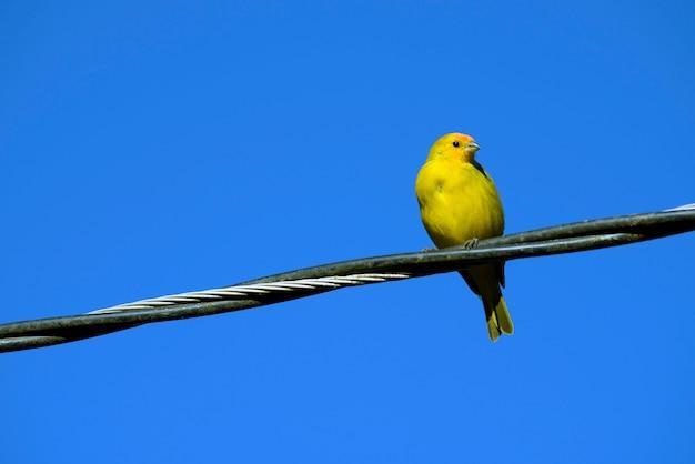 Passarinho amarelo açafrão no fio da rede elétrica