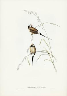 Passarinho de grama-de-cauda-comprida