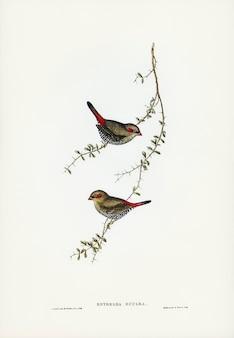 Passarinho-de-orelha-vermelha (estrelda oculea) ilustrado por elizabeth gould