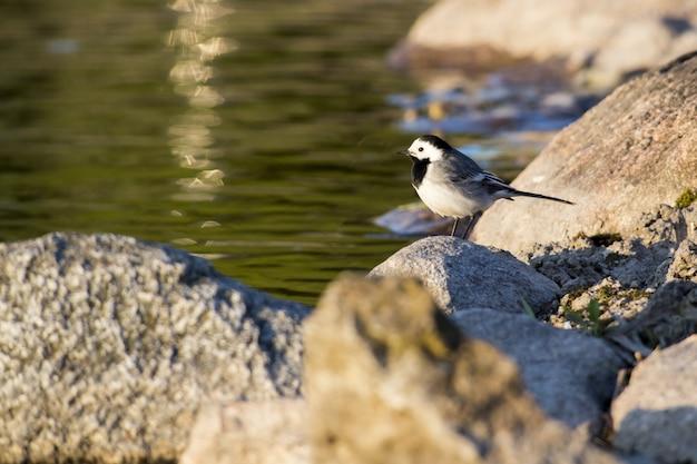 Passarinho em pé na rocha perto da água