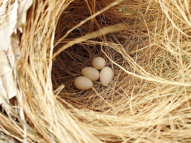 Passarinho ovos no ninho