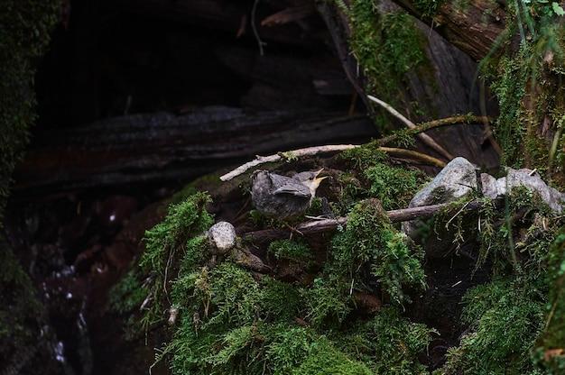 Passarinho sentado na beira do ninho tentando voar
