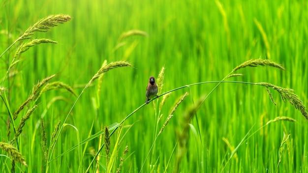 Passarinhos fofos em campos verdes de arroz