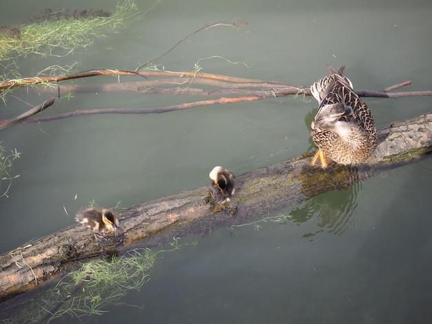 Passarinhos pato