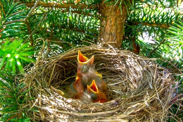 Passarinhos turdus pilaris no ninho com as bocas abertas