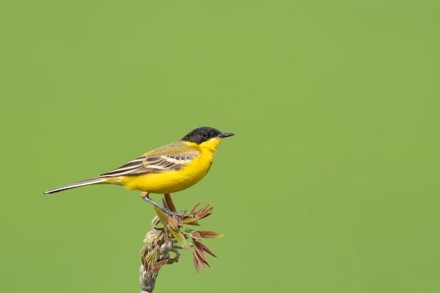 Pássaro alvéola-amarela motacilla flava, tempo de primavera. masculino.