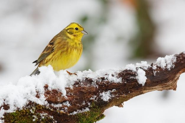 Pássaro amarelo empoleirado em um galho coberto de neve