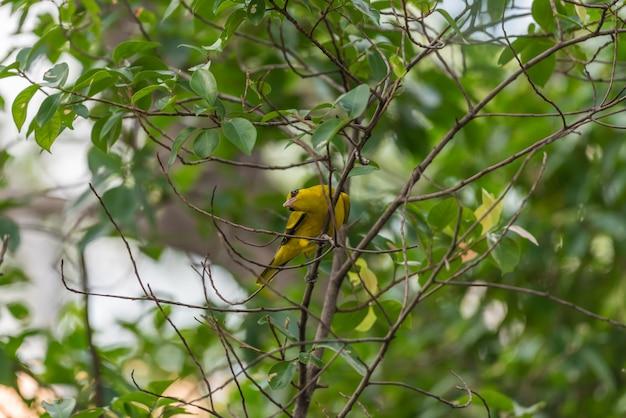 Pássaro (amarelo-naped oriole, oriolus chinensi) amarelo no cimo de uma árvore em uma natureza selvagem