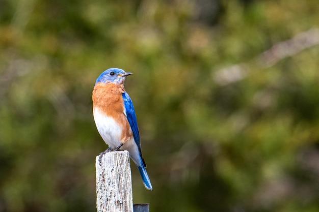 Pássaro azul, marrom e branco sentado em um pedaço de madeira pintada
