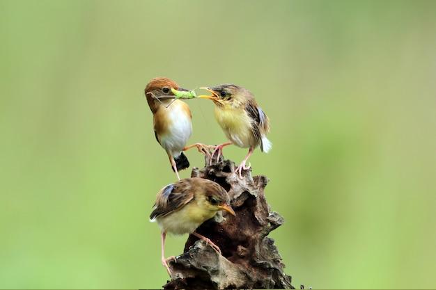 Pássaro bebê cisticola juncidis esperando comida de sua mãe pássaro cisticola juncidis no galho