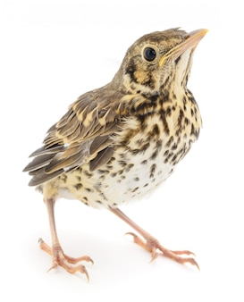Pássaro bebê selvagem