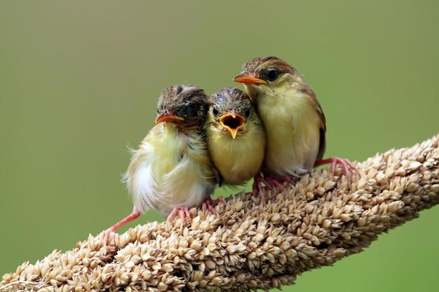 Pássaro bebê zitting cisticola esperando comida de sua mãe