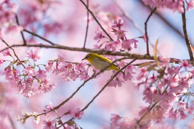 Pássaro bebendo néctar na flor de sakura