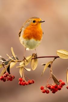 Pássaro bonito com uma bela plumagem vermelha