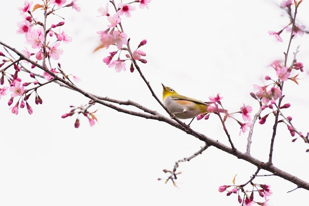 Pássaro bonito montanha bulbul e sakura flor rosa
