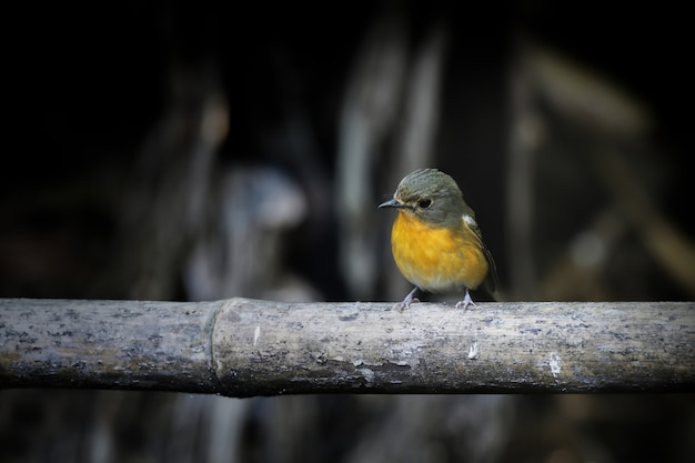 Pássaro bonito no fundo de bambu e escuro.
