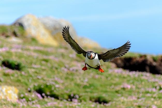 Pássaro bonito papagaio-do-mar voando