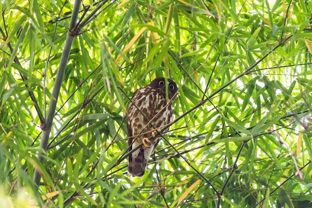 Pássaro (boobook do norte) em uma natureza selvagem