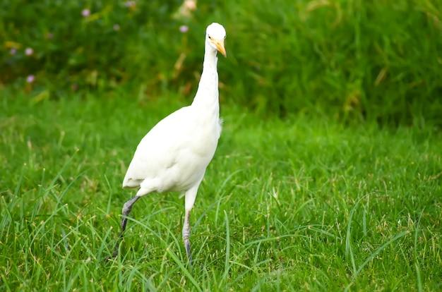 Pássaro branco do egito em um prado verde