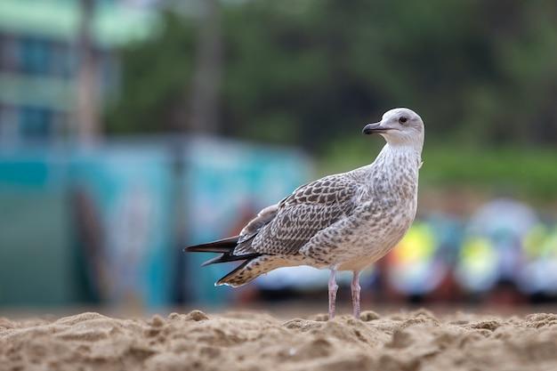 Pássaro branco e cinzento da gaivota na costa da praia da areia.