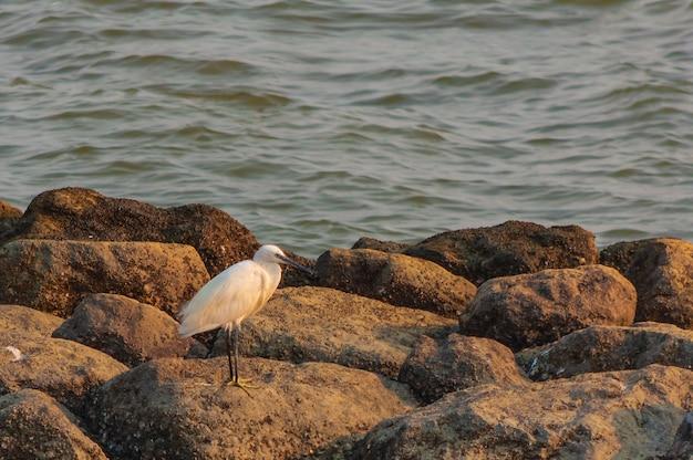 Pássaro branco fofo sentado em uma pedra perto do mar em phanthai norasing