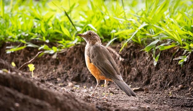 Pássaro brasileiro conhecido como sabiá no jardim