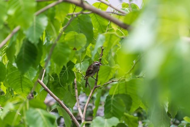 Pássaro (bulbul amarelo-exalado) na árvore na natureza selvagem