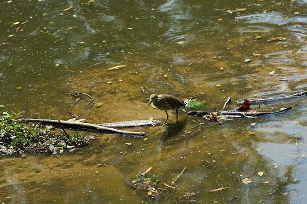 Pássaro caminha em vapor de águas rasas para encontrar comida de peixe para comer na natureza