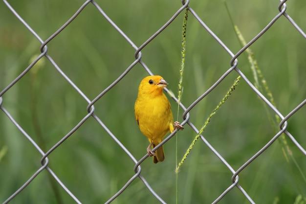 Pássaro canário comendo