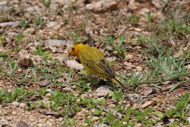 Pássaro canário