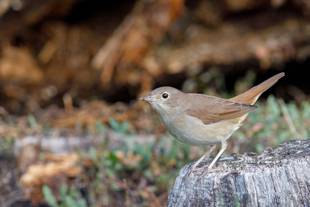 Pássaro cantando marrom, thrush, empoleirado em um lago em um parque