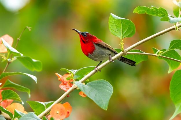 Pássaro-carmesim (aethopyga siparaja) na natureza