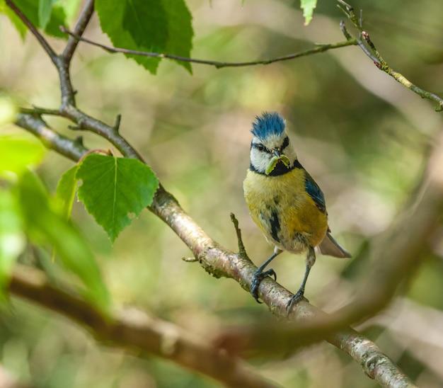 Pássaro chapim azul com minhoca no bico