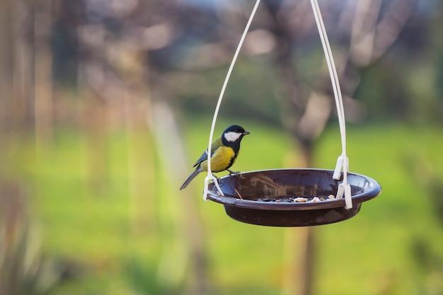 Pássaro chapim maior sentado em uma lata de sementes.