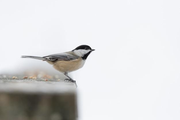 Pássaro chapim-preto