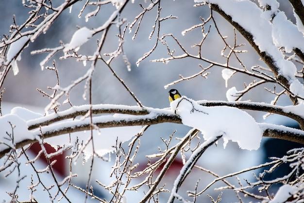 Pássaro chapim-real pequeno no galho de uma árvore de inverno