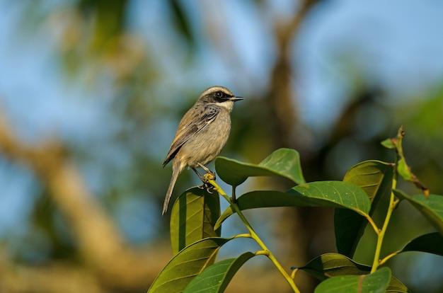 Pássaro cinza bushchat (saxicola ferreus)