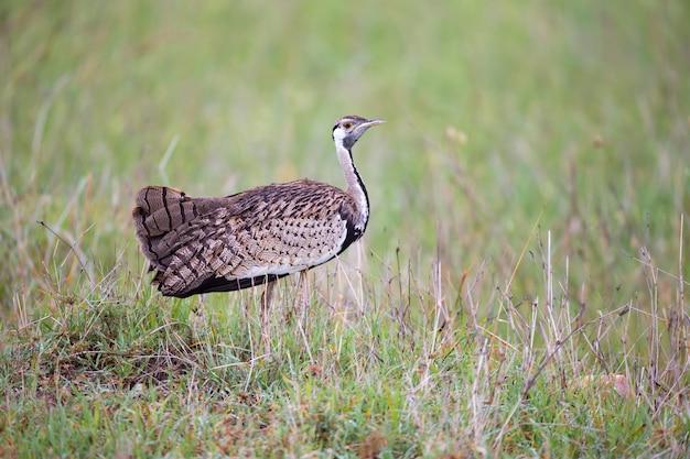 Pássaro cinza indígena está parado na grama e olhando