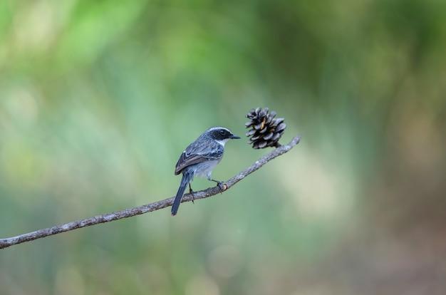 Pássaro cinzento de bushchat (saxicola ferreus)