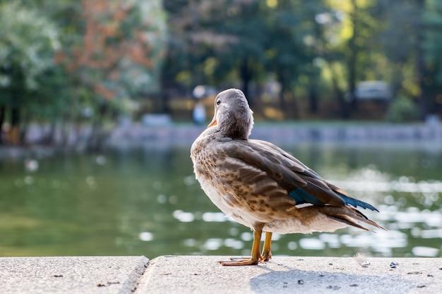 Pássaro cinzento do pato que está no banco de um lago no verão.