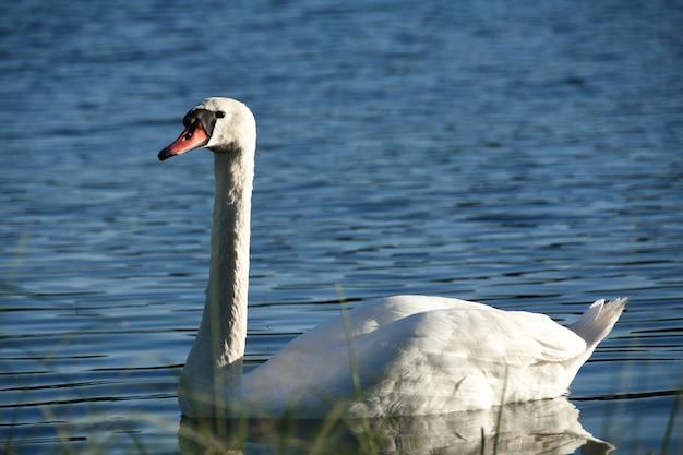 Pássaro cisne branco nada ao longo do lago água azul na floresta à noite