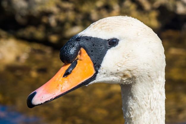 Pássaro cisne muda cygnus adulto close-up